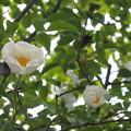 写真: 思い出のバラ