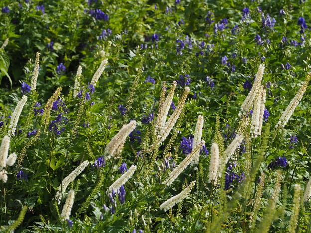 伊吹山のお花8月編 番外