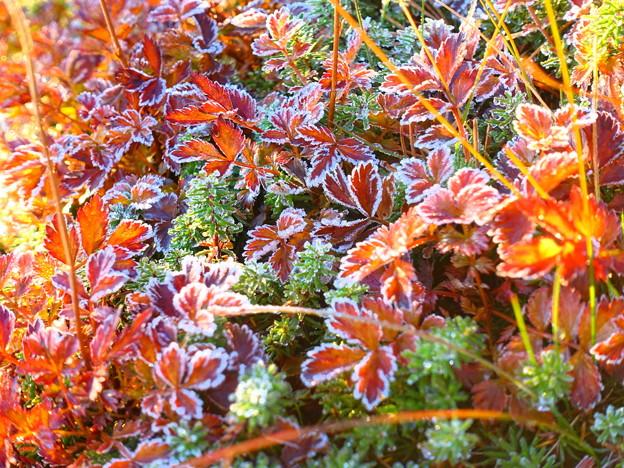 再度、彩度を変えたものを^^; ~チングルマの紅葉に霜~