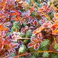 Photos: 再度、彩度を変えたものを^^; ~チングルマの紅葉に霜~