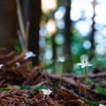 Photos: 登山道脇の白い花に癒される ~熊野古道 中辺路~