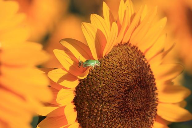 向日葵と蛙