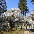 Photos: 大原野神社の千眼桜