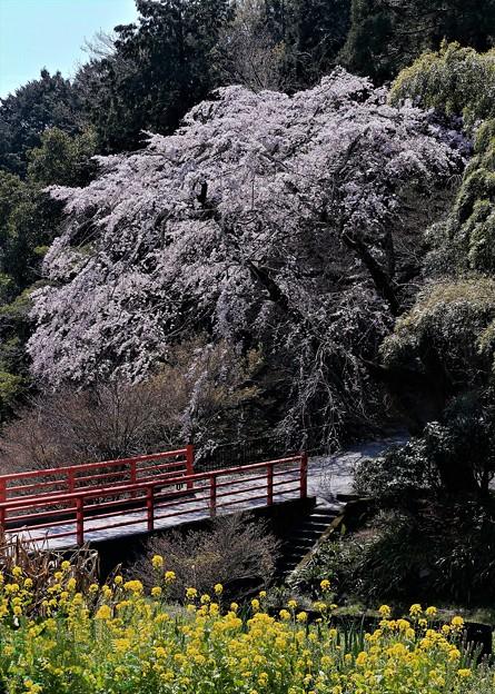 正法寺の桜