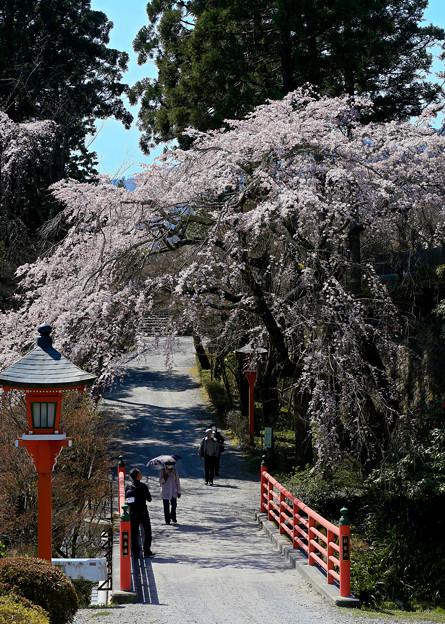 正法寺の桜2