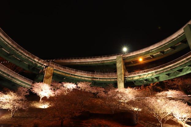 ライトアップされた河津桜とループ橋