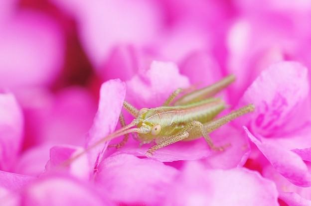写真: ハナズオウの花に隠れて