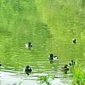 写真: 石神井公園三宝寺池のキンクロハジロ
