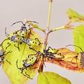 写真: キバラヘリカメムシ