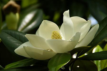 大輪だね~ タイサンボクの花・・♪