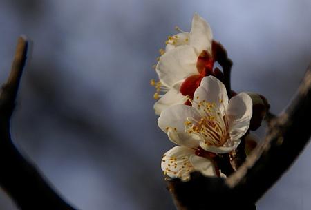 梅の香り~♪