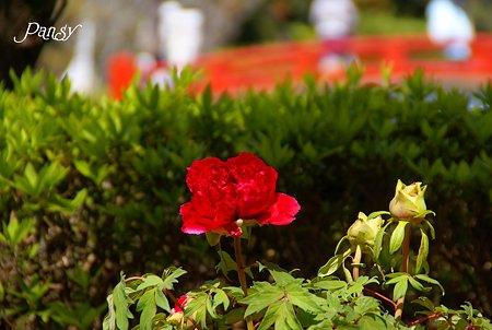 艶~ ぼたん庭園にて・・2