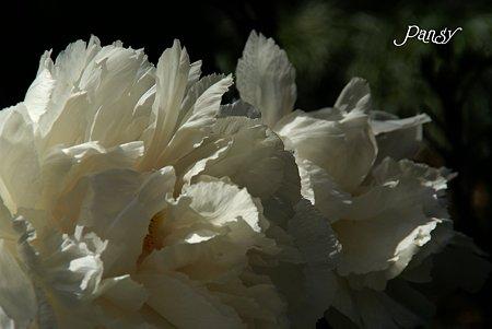 華~ ぼたん庭園にて・・3