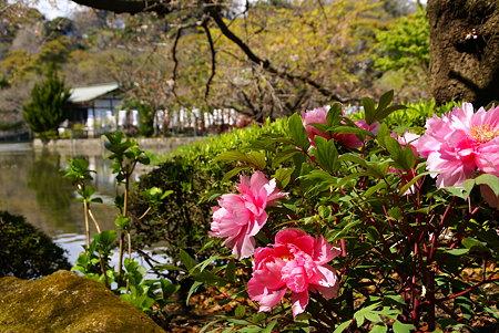華やかな源氏池 ぼたん庭園にて・・6