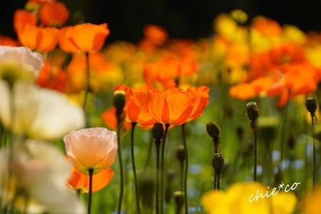 くりはま花の国-023