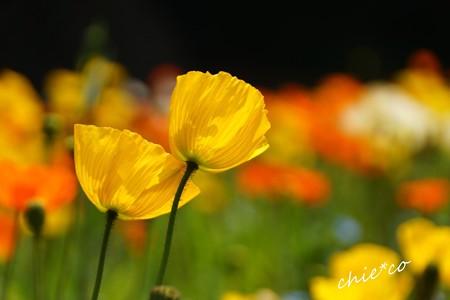 くりはま花の国-024