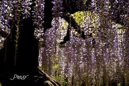 薄紫のシャワー・・あしかがフラワーパーク19