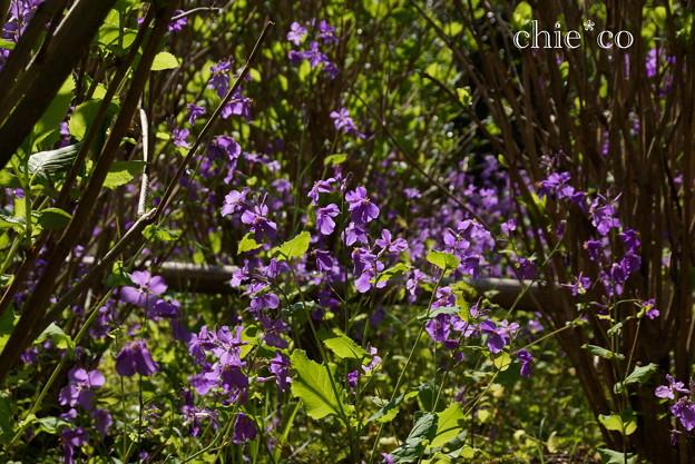 紫花菜(むらさきはなな)。。