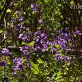 写真: 紫花菜(むらさきはなな)。。