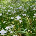 写真: 胡蝶花。。