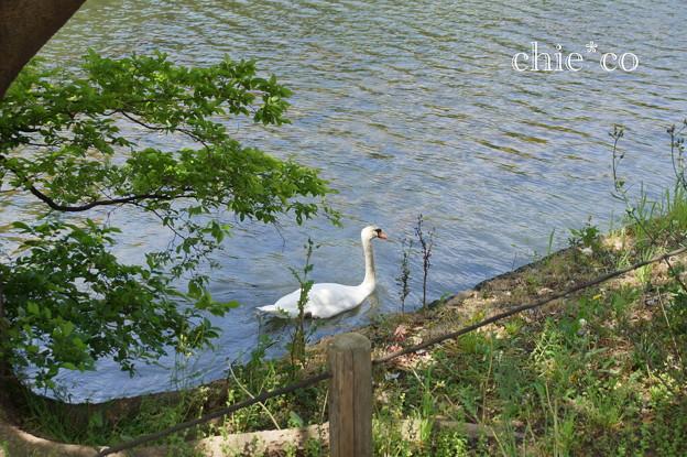 写真: 白鳥。。