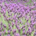 写真: 花菜ガーデン-222