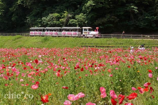 くりはま花の国-274