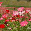 写真: くりはま花の国-282