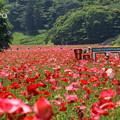 写真: くりはま花の国-295