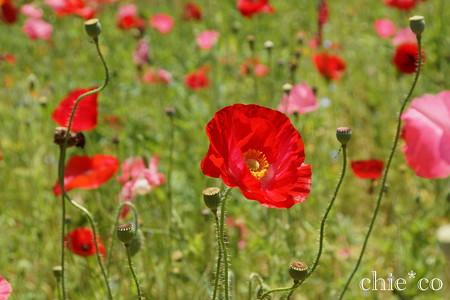 くりはま花の国-296