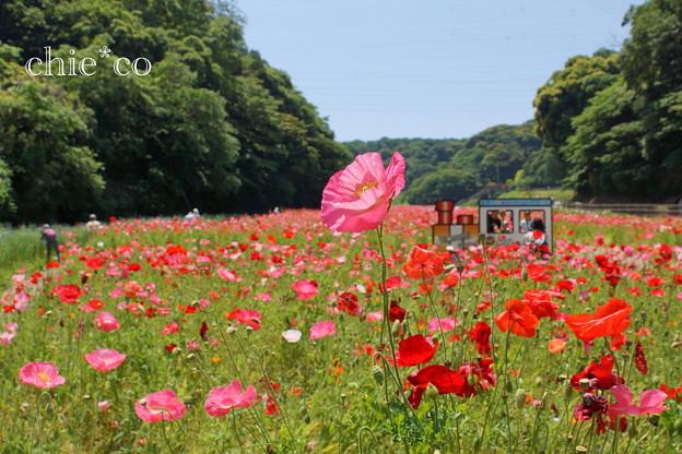 写真: くりはま花の国-297