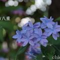 写真: 瀬戸神社~山あじさい-375