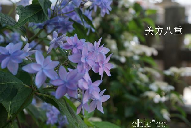 瀬戸神社~山あじさい-376