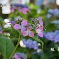 写真: 瀬戸神社~山あじさい-378