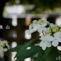 写真: 瀬戸神社~山あじさい-381