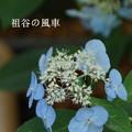写真: 瀬戸神社~山あじさい-395