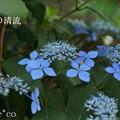 写真: 瀬戸神社~山あじさい-399