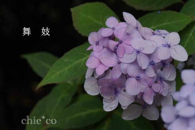 写真: 瀬戸神社~山あじさい-403