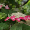 写真: 瀬戸神社~山あじさい-405
