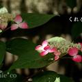 写真: 瀬戸神社~山あじさい-406
