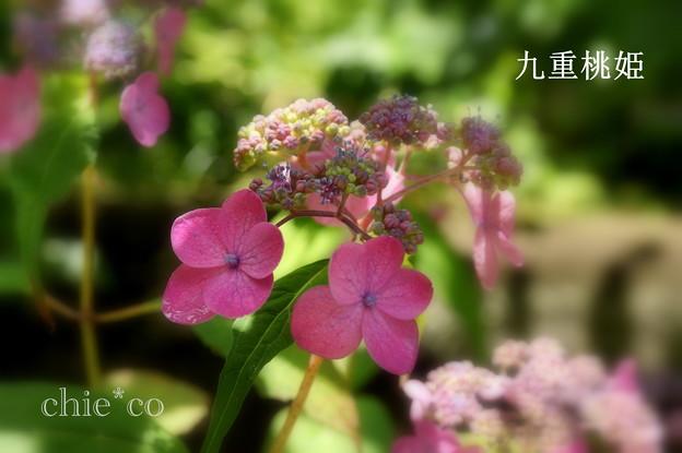 写真: 瀬戸神社~山あじさい-407
