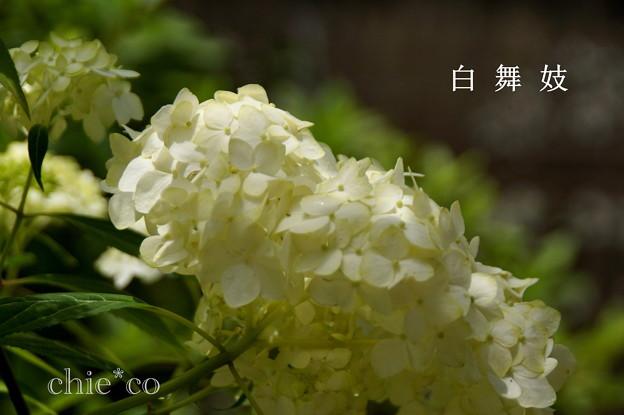 写真: 瀬戸神社~山あじさい-416