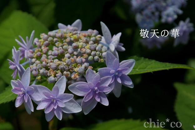 写真: 瀬戸神社~山あじさい-424