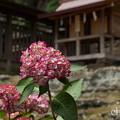 写真: 瀬戸神社~山あじさい-430