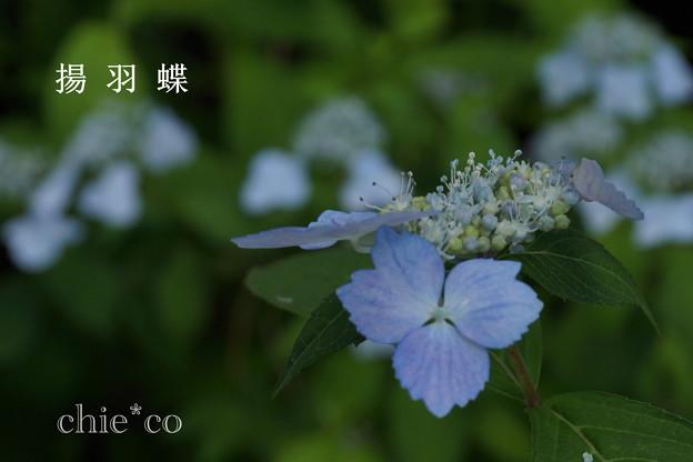 写真: 瀬戸神社~山あじさい-441