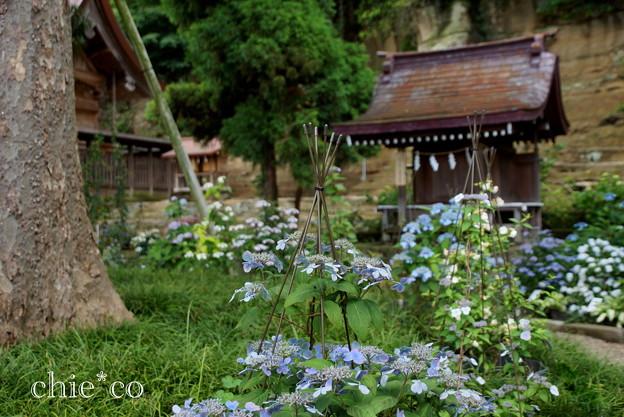 写真: 瀬戸神社~山あじさい-449