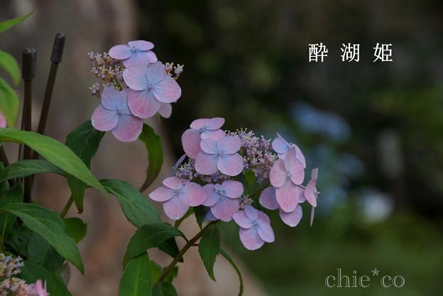 瀬戸神社~山あじさい-452