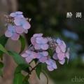 写真: 瀬戸神社~山あじさい-452