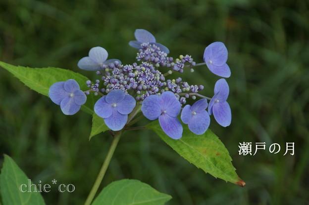 写真: 瀬戸神社~山あじさい-453