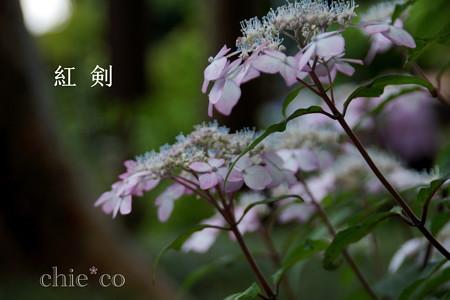 瀬戸神社~山あじさい-458